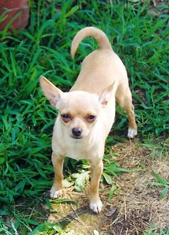 http://www.webpanache.com/candyland/images/Chihuahua8.jpg