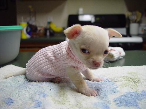 معلومات وصور عن تربية كلب الشيواوا Chihuahua Dog